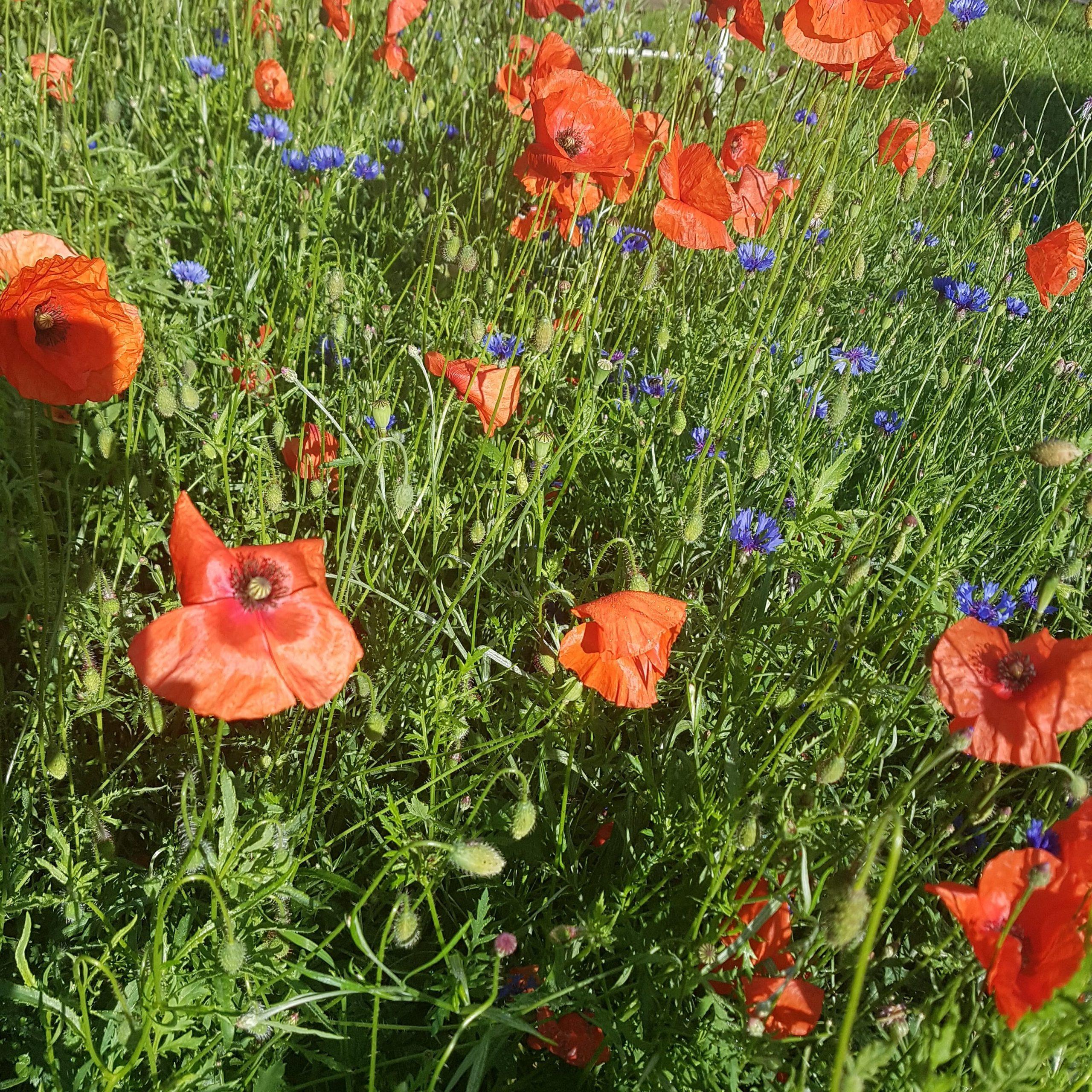 Tipp: Anlage einer Wildblumenwiese